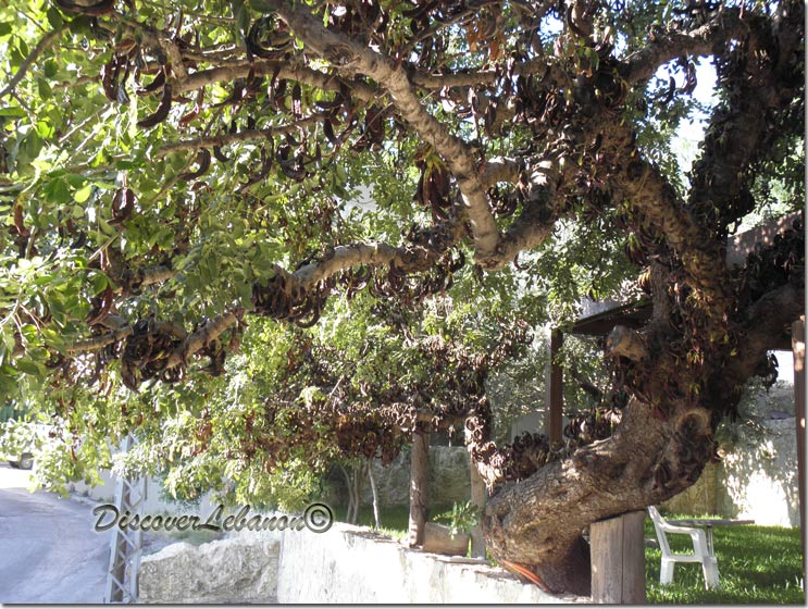 discover lebanon image gallery    trees and flowers    giant carob tree